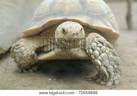 The African spurred tortoise (Geochelone sulcata), also called the sulcata tortoise, is a species of tortoise, which inhabits the southern edge of the Sahara desert, in northern Africa. It is the third-largest species of tortoise in the world
