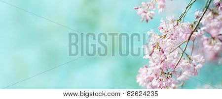 Spring shidarezakura (weeping cherry) cherry blossom with early spring green soft pastel green background. Title header dimension image. Intentionally shot with shallow depth of field. stock photo