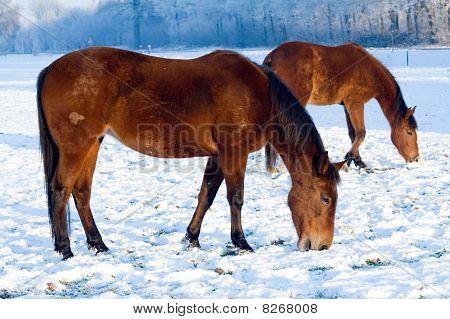 Horses grazing on a snow coverd farmland. Holland stock photo