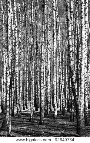 Spring birch trees black and white in sunny weather stock photo