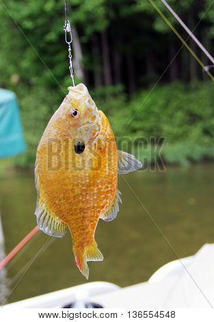 Sunfish close up hanging from a fishing line stock photo