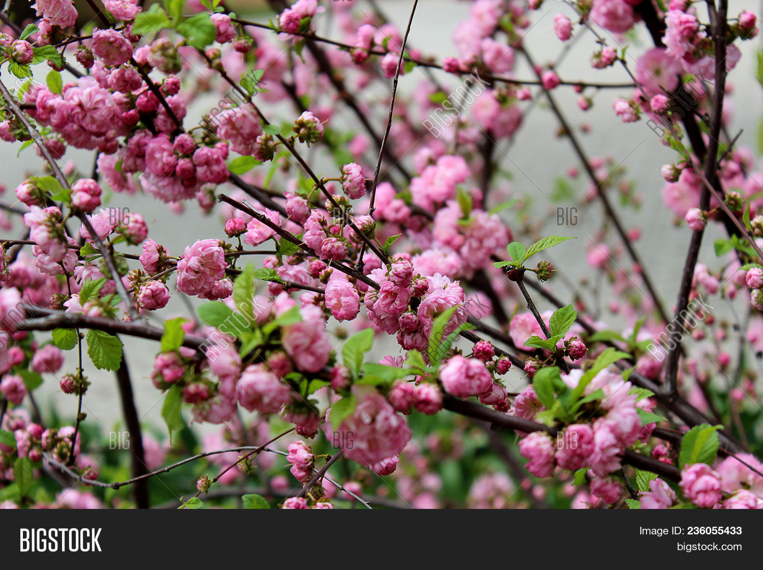 Prunus Triloba Louiseania Blossoms Many Bright Pink Flowers Are