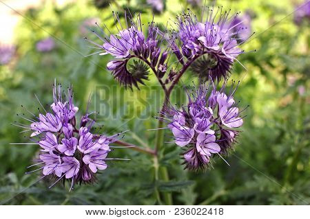 Phacelia tanacetifolia is a species of phacelia known by the common names lacy phacelia, blue tansy or purple tansy. It is a good insectary plant, attracting pollinators such as honey bees stock photo
