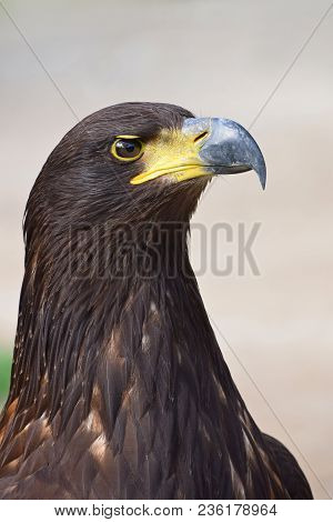 Close up profile portrait of one Golden eagle (Aquila chrysaetos) looking at camera over grey background, low angle side view stock photo