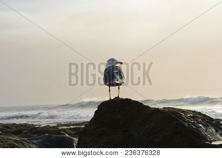 Dark-toothed Gull (Larus fuscus) seen from behind with his head turned to the right on top of a rock in the empty tide stock photo