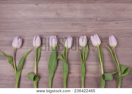 Seven pink pastel spring love tulips parallel in row closeup . Beautiful present symbol flowers for valentines day, mothers day, wedding, birthday, easter, girlfriend, wife or sweetheart. Wooden background and copyspace. stock photo