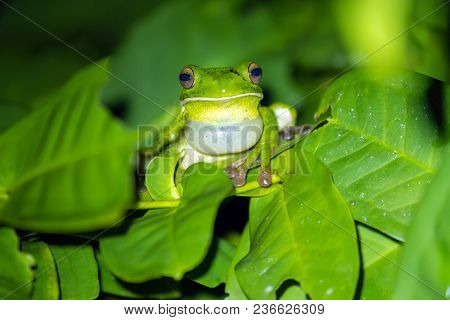 White-lipped tree frog (Litoria infrafrenata) croaking at night, this is the bigger tree frog in the world, Aru islands, Papoua, Indonesia stock photo