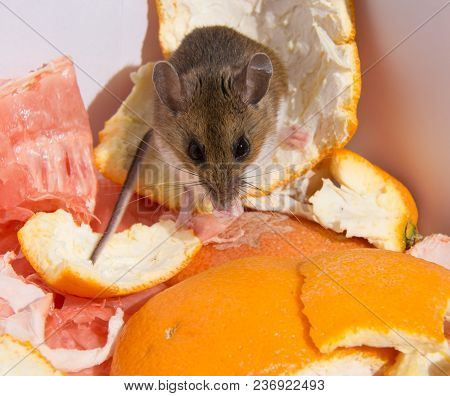 Front view of a wild brown house mouse, Mus musculus, perched on top of a pile of citrus peels washing his face. stock photo