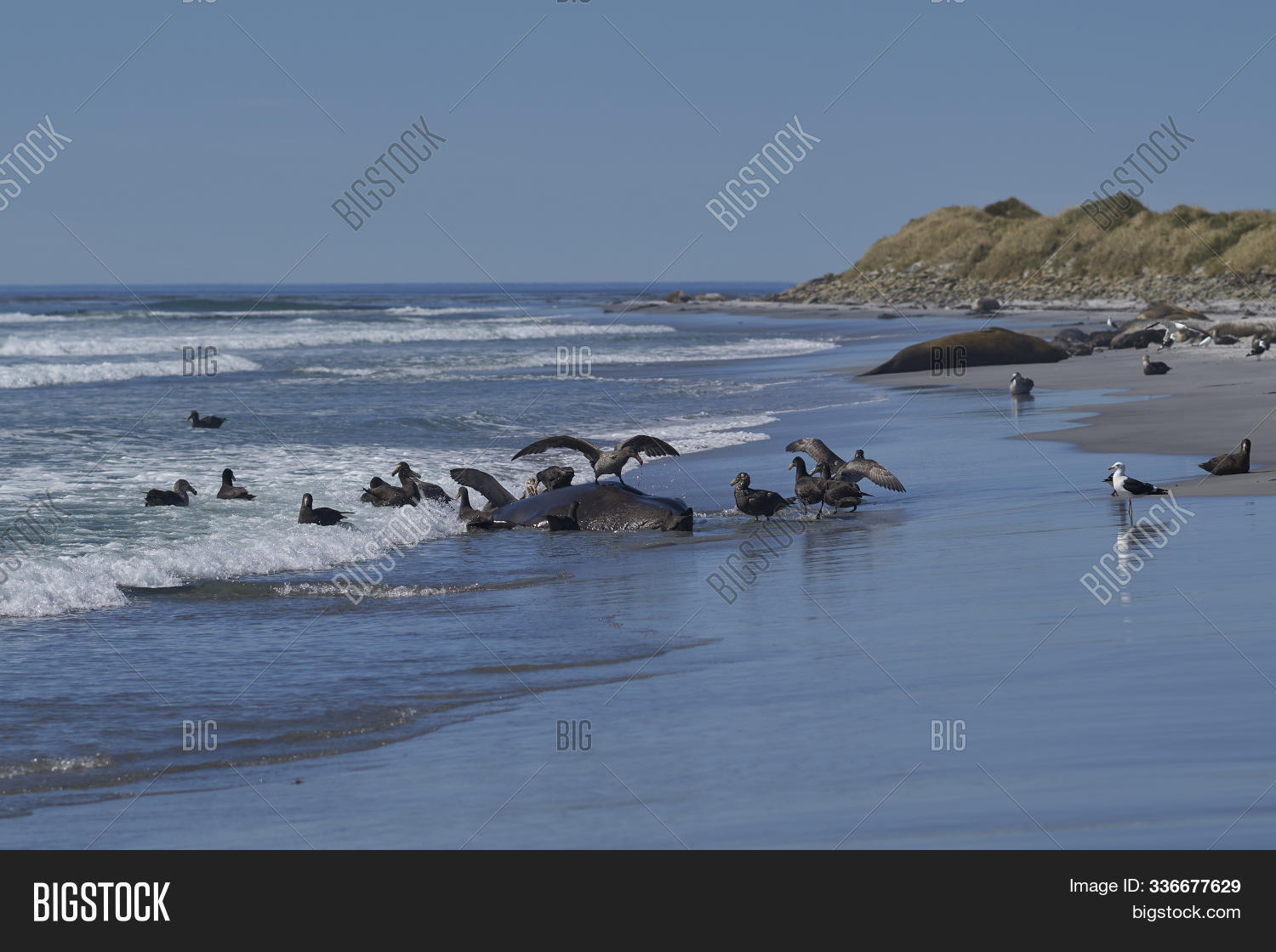 Mirounga,animal,atlantic,beach,bird,carcass,coast,coastal,corpse,dead,eat,eating,elephant,eyes,falkland,fauna,feed,feeding,giant,great,halli,head,island,leonina,macronectes,male,mammal,northern,nose,petrel,proboscis,sand,scavenger,seal,sealion,south,southern,wild,wildlife