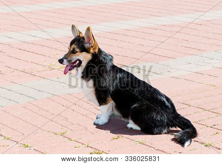 Cardigan Welsh Corgi seats and looks.  The Cardigan Welsh Corgi seats in the city park. stock photo