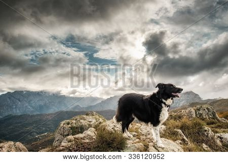 A black & white Border Collie sheepdog standing on a rock in the mountains of Corsica stock photo