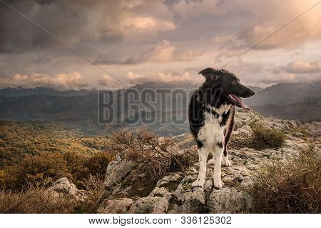 A black & white Border Collie sheepdog standing on a rock in the mountains of Corsica under late afternoon sunshine stock photo
