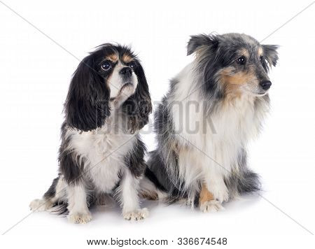 cavalier king charles and Shetland Sheepdog in front of white background stock photo