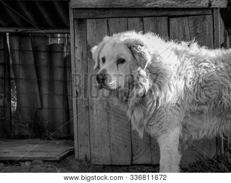 Hungarian adult male Kuvasz portrait shot in harsh sunlight , in black and white. stock photo