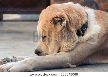 Central Asian Shepherd Dog. the Alabai portrait stock photo