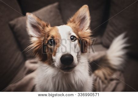 Cute mixed patchy breed dog looking to the camera, pet portrait at home stock photo