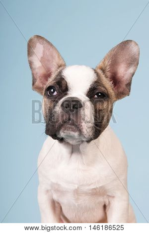 French Bulldog Puppy-Lg Fridge Magnet Skin (size 36x65)