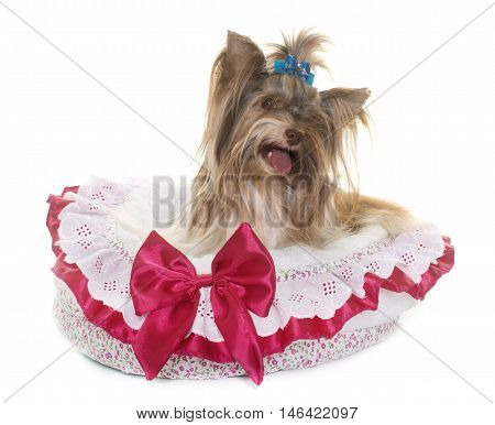 biro yorkshire terrier in front of white background stock photo