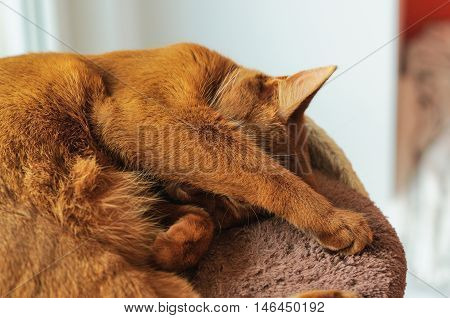 Purebred abyssinian cat sleeping on scratching post indoor stock photo
