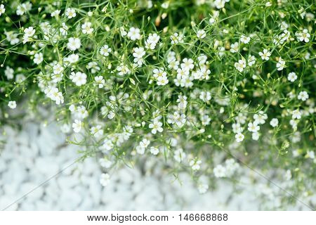 White flowers of ornamental plant Alissum. Flowers grow along the road stock photo