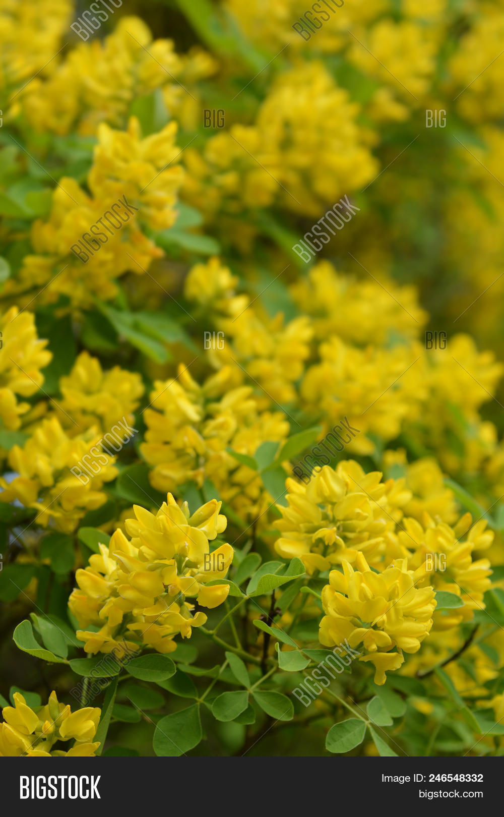 Dalmatian Laburnum Yellow Flowers And Buds Latin Name