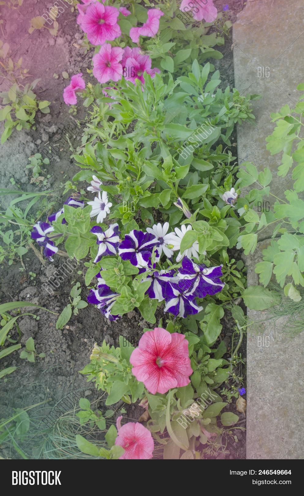 Blooming Petunia Flowers On Flowerbed Photo Stock