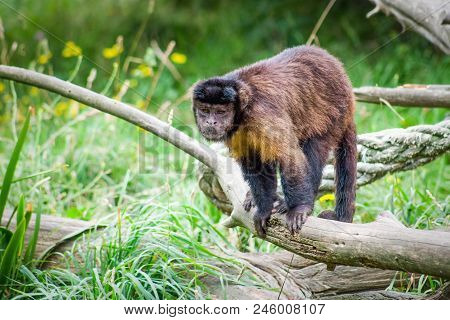 Tufted Capuchin Monkey also known as brown capuchin black capped capuchin or pin monkey is a New World primate from South America. stock photo