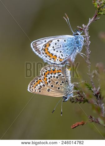 pair of silver-studded blue (Plebejus argus) butterfly mating on host plant Common Heather (Calluna vulgaris) in natural habitat stock photo