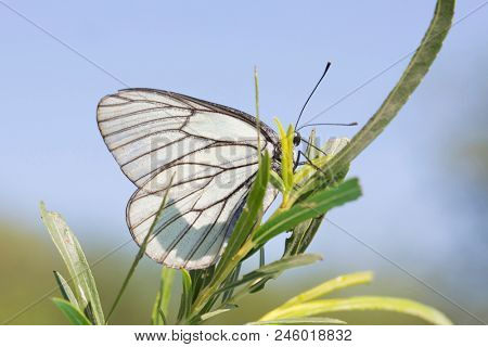 Butterfly Aporia crataegi. Butterfly in nature stock photo