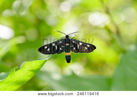 Nine spotted moth or yellow belted burnet - Amata phegea is a moth in the family Erebidae Tiger moths stock photo