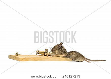 Home gray mouse caught in a mousetrap. Side view. Isolated on a white background. stock photo