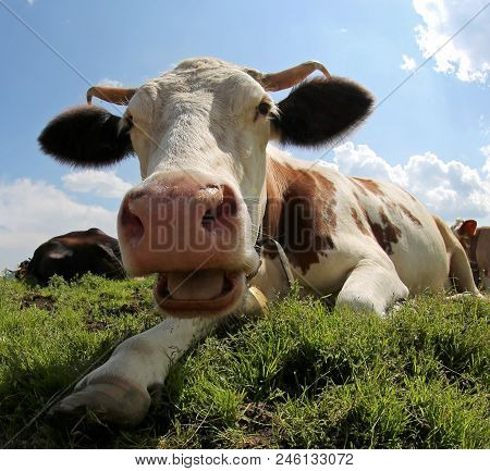 big horned cow with the opened mouth in the meadown stock photo