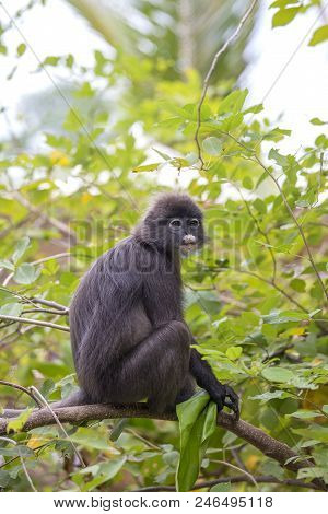 Dusky leaf monkey, spectacled leaf monkey, langur is sitting among leaves in a tree in the wild. Location: Perhentian island, Malaysia. Close up stock photo