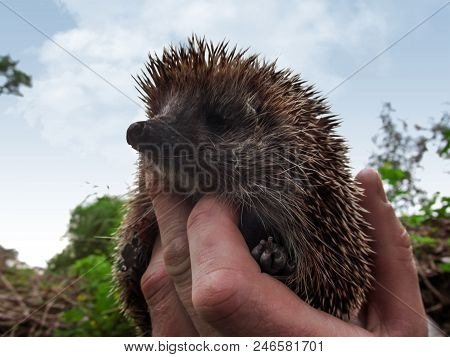 Cute spiny hedgehog in a human hand isolated against a blue sky. Beautiful portrait of a brown wild West European hedgehog close-up, selective focus on a blurred background stock photo