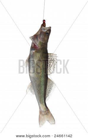 fish zander with bait on white background stock photo