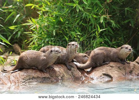 Short clawed Asian otters having fun around a small pool stock photo