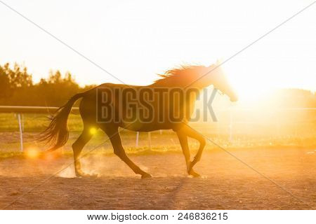 Purebred horse running in the padlock in the sunset. Sunrays. Trotting. stock photo
