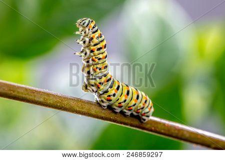 Papilio machaon Caterpillar in threatening posture stock photo