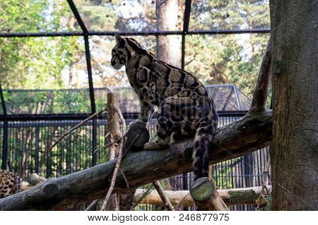A beautiful spotted smoky leopard sits on a tree orchered with a lattice in a cage on a background of green trees in the Novosibirsk zoo stock photo