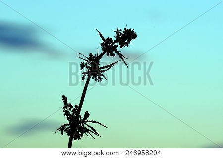 Silhouettes of the top of a bush is a young hemp with inflorescences. Flowering period of cannabis. Side view of growing marijuana close-up. stock photo
