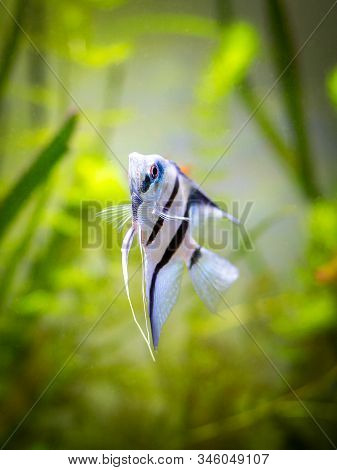 portrait of a zebra Angelfish in tank fish with blurred background (Pterophyllum scalare) stock photo
