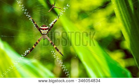 St. Andrews Cross , Argiope spider rests on web, Ko Tao, Thailand stock photo