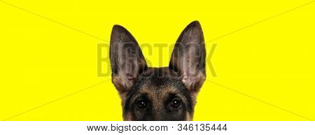 close up of an adorable german shepherd dog with brown fur looking at camera with face partially hidden on yellow studio background stock photo