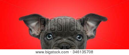 close up of a cute american bully dog with black fur hiding and looking at camera happy on red studio background stock photo