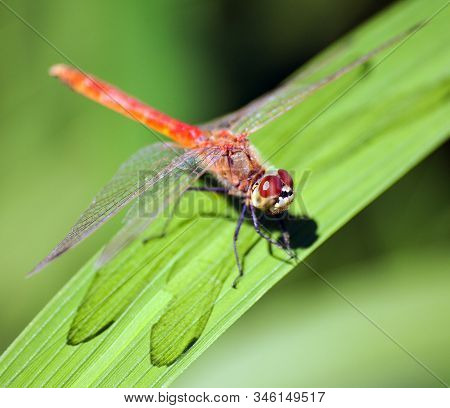 red dragonfly on green background Insect on leaf stock photo