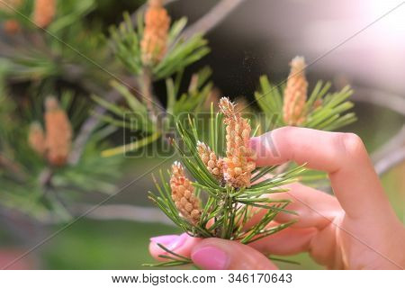 Womans hand touching small cones looks like flowers on pine tree branches. Growing beautiful pine cones among pine needles. Trees on wild nature, pines life cycle morphology. stock photo