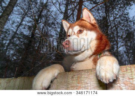 Husky Dog looking over a backyard fence. Dog peering over wooden fence. Paws husky dog over fence, bottom view. Night portrait. stock photo