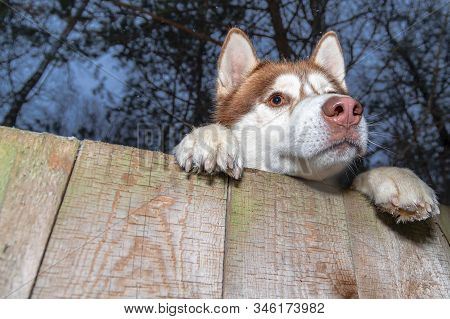 Husky Dog looking over a backyard fence. Siberian husky peering over wooden fence. Muzzle and paws dog over fence, bottom view. stock photo