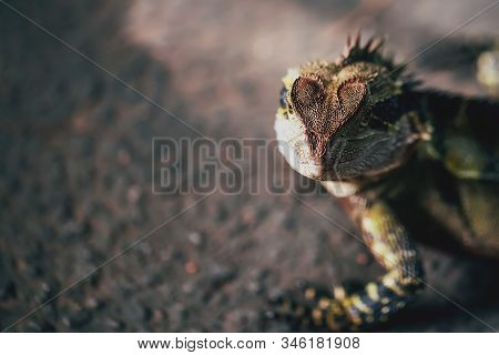Australian Eastern Water Dragon with the shape of heart on the head stock photo