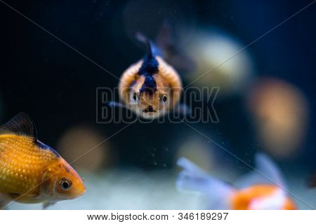 Goldfish focus front eye view with copy space dof sharp focus space for text macro reptile jungle aquarium home pet cute stock photo